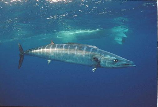 los 10 animales marinos mas rapidos: peto o sierra golfina