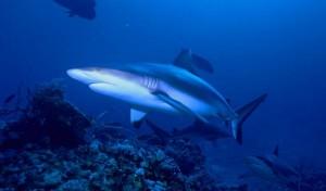 Tiburón mako o marrajo