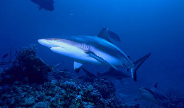 Tiburón mako o marrajo, el animal marino más rápido