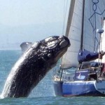 Ataque de ballena sobre yate
