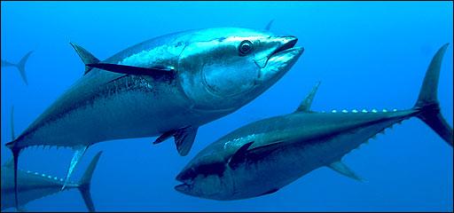 los 10 animales marinos mas rapidos: atun rojo