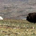 Una búfalo defiende a su cría ante los lobos