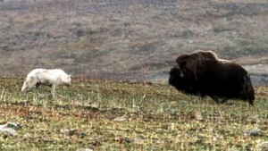 bufalo vs lobo