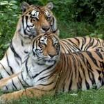 Documental animales: La Guerra del Tigre