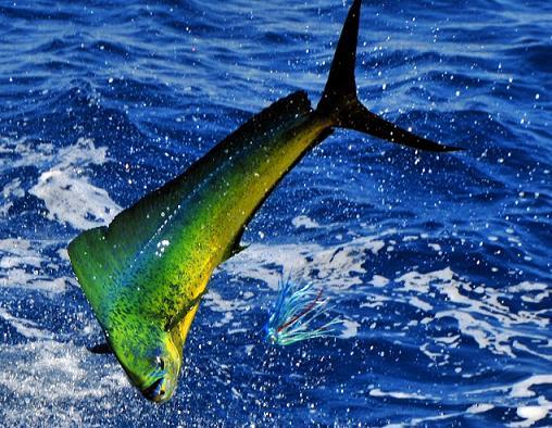 los 10 animales marinos mas rapidos: dorado o lampuga