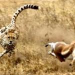 Gacela Thompson y el guepardo, dos velocistas en lucha