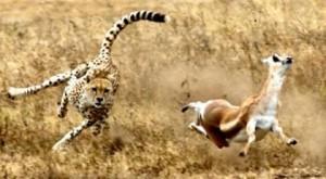 guepardo cazando gacela thompson