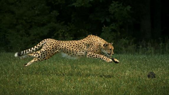 Los 10 animales terrestres más rápidos