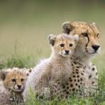 Guepardo se enfrenta a un león por sus crías