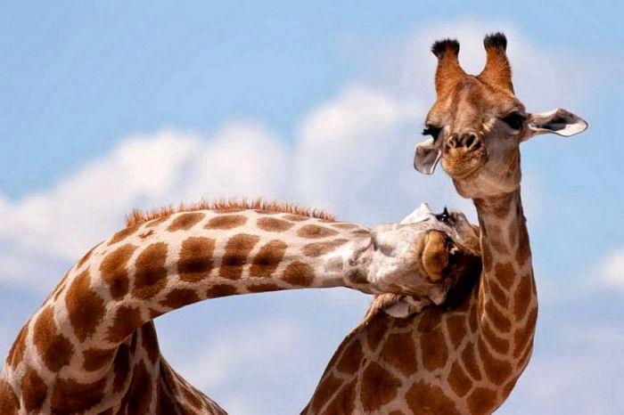 jirafas jugando