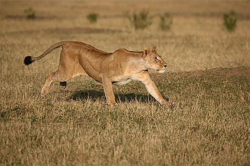 leona corriendo