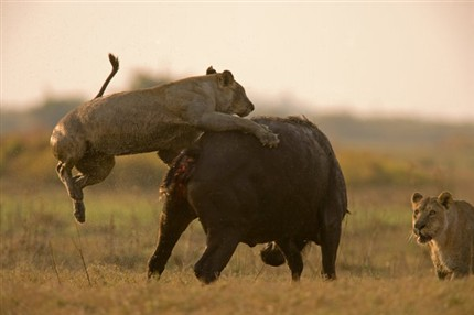 León y leona cazando búfalos