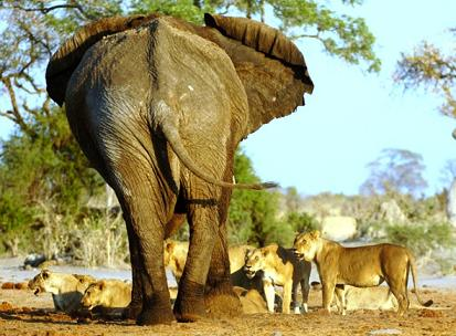 Leones cazando elefantes
