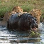 Leones cazando hipopótamos