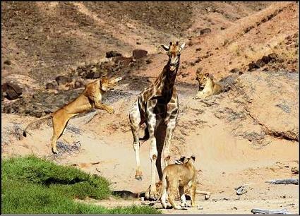 Leones cazando una jirafa