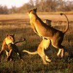 Leones jugando en slow motion (HD)
