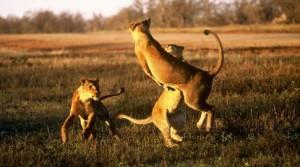 leones jugando