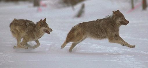 lobos corriendo