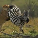 Lucha entre una leona y una cebra