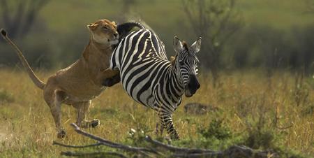 lucha leona cebra