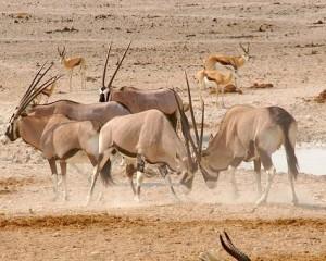 oryx peleando