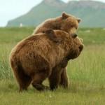 Dos osos Grizzly jugando en Alaska