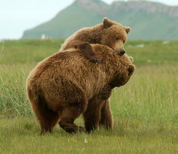 osos grizzly jugando alaska