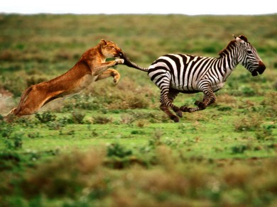 Leona cazando una cebra