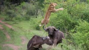 bufalo leon volador