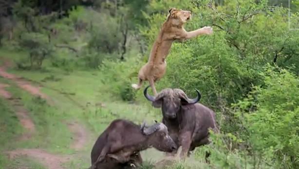 Un bufalo hace volar a un león
