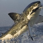 Documental completo: Yo depredador – El Gran Tiburón Blanco