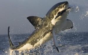 documental yo depredador gran tiburon blanco