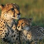 Documental completo: Yo depredador – El guepardo