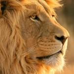 Documental completo: Yo depredador – El león