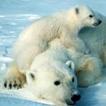 Documental completo: Yo Depredador – El Oso Polar