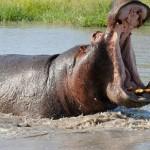 Un hipopótamo ataca un coche de turistas