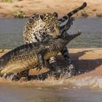 Jaguar atacando a un cocodrilo