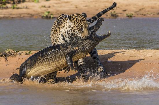 jaguar atacando un cocodrilo