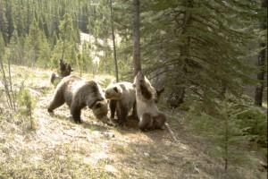 osos bosque