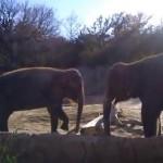 Un elefante intenta romper un palo