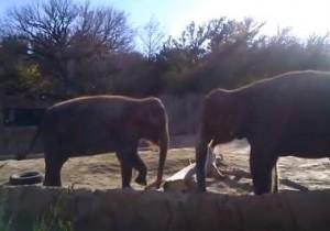 elefante intenta romper un palo