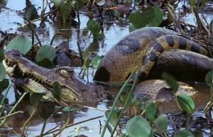 anaconda cazo caiman