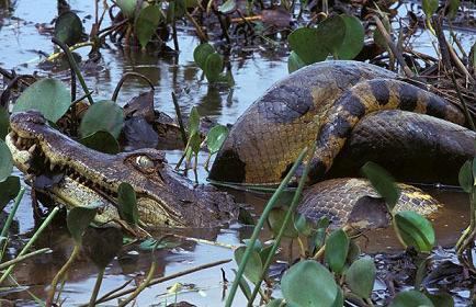 Anaconda cazando un caimán