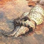 Anaconda cazó un cocodrilo