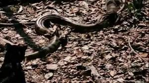 pantera cazando anaconda