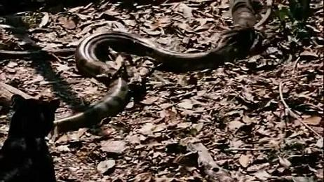 Una pantera caza una anaconda