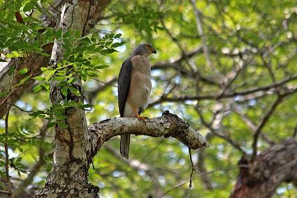 African goshawk halcon africano