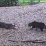 Curioso enfrentamiento entre un gato y un cocodrilo