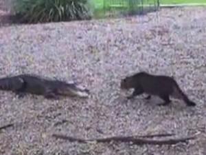 enfrentamiento entre un gato y un cocodrilo