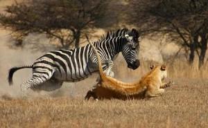 leon cazando cebra leona